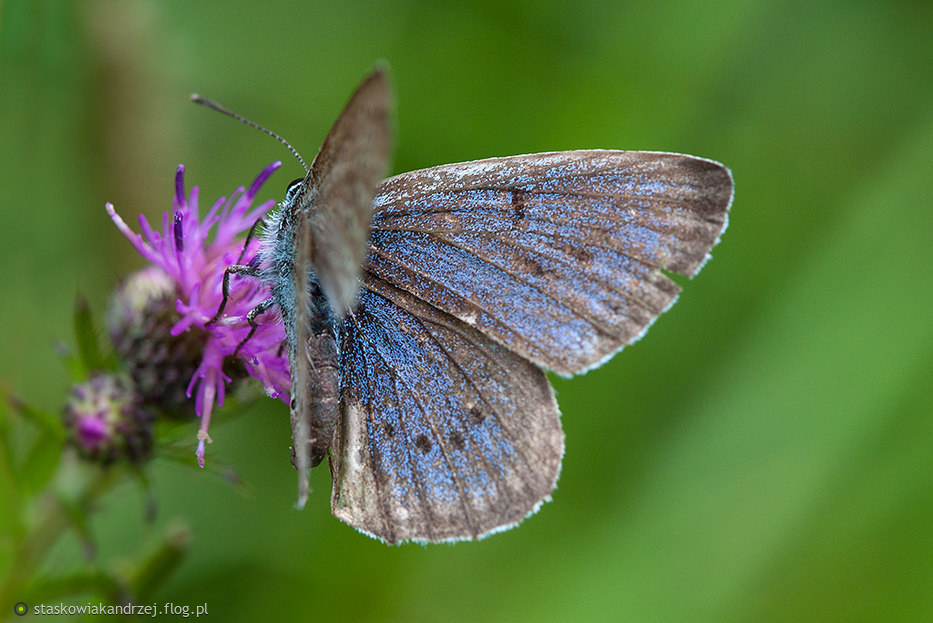 Modraszek telejus (Phengaris teleius) - samiec.