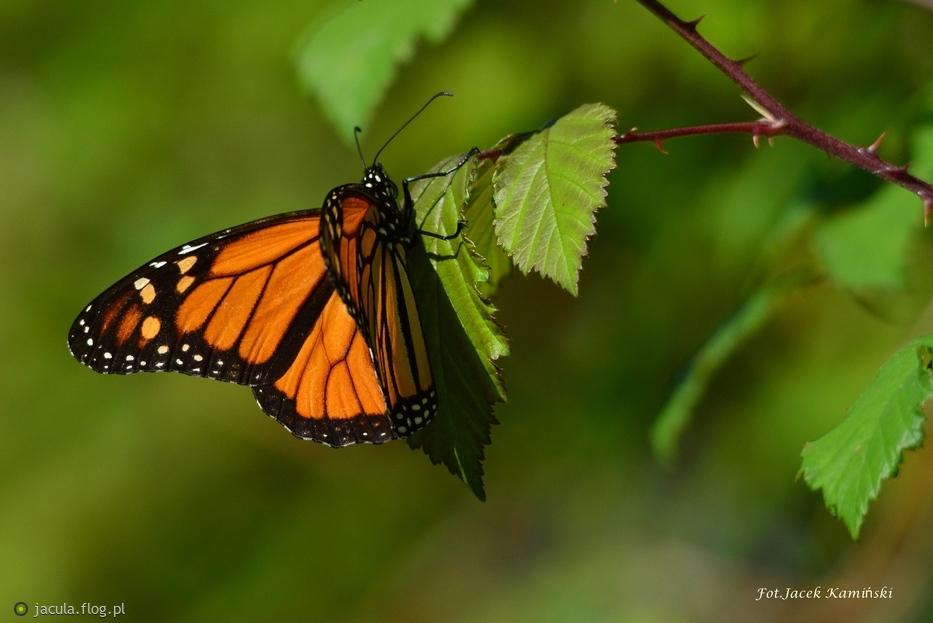 Danaus plexippus - Monarch