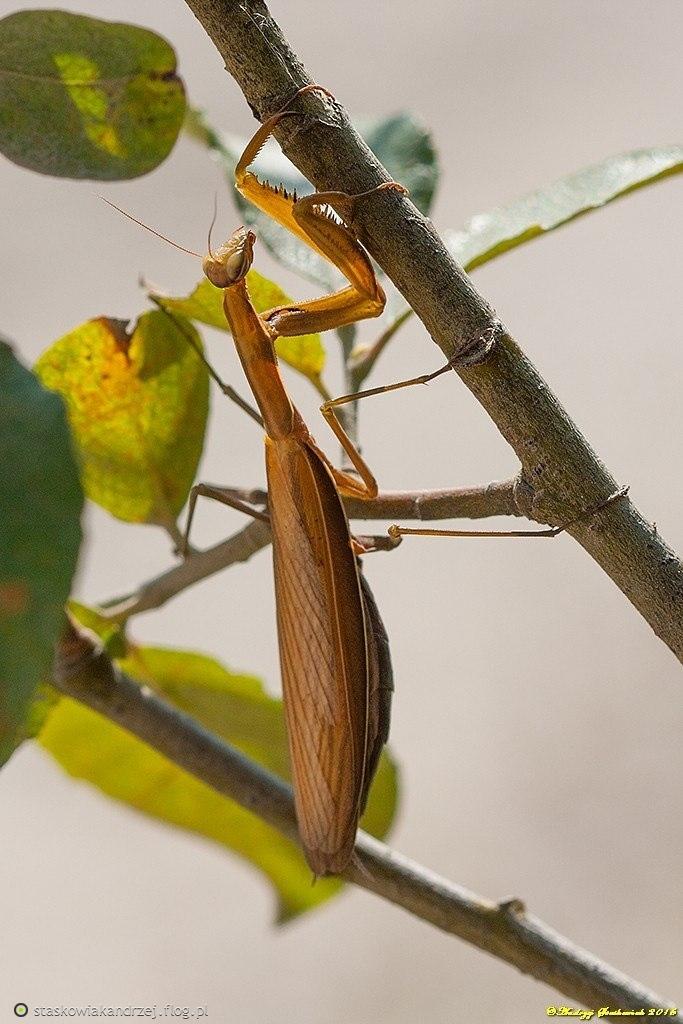 Modliszka zwyczajna ♀ (Mantis religiosa).