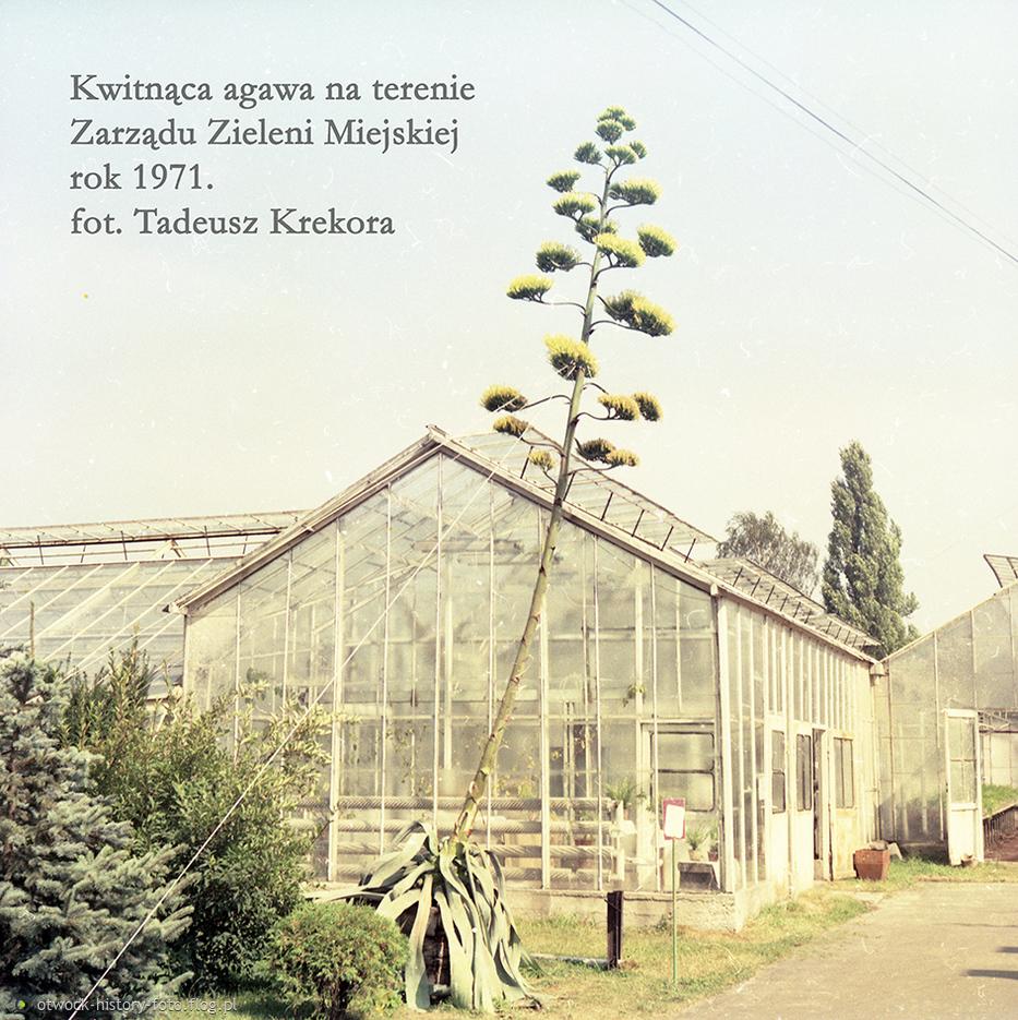 Kwitnąca agawa