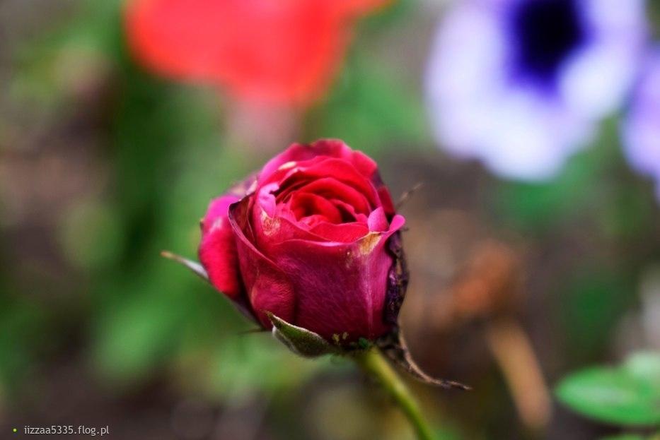 Jedna róża to piękno. Dziesięć róż to coś drogiego. Sto róż to nuda. Tysiąc róż, kapujesz?