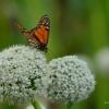Spotkany na Maderze :: Niestety nie znam się na <br />motylkach i nie wiem jak <br />się nazywa:(