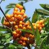 Jarzębinowe owoce